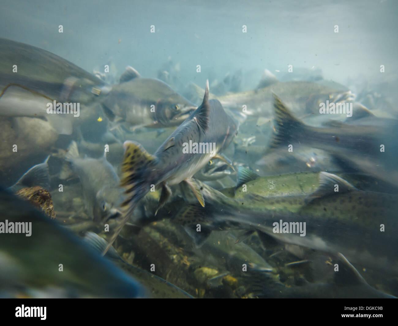 Closeup underwater view of a school of sockeye salmon Oncorhynchus Nerka  spawning in the Kenai River Alaska - Stock Image