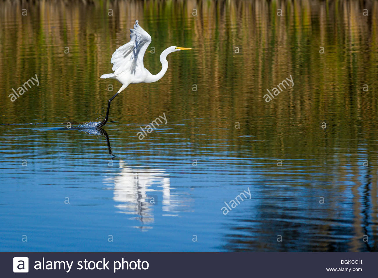 Great Egret (Ardea alba) takeoff in Rouge National Urban Park an urban wilderness inside Toronto Ontario Canada - Stock Image