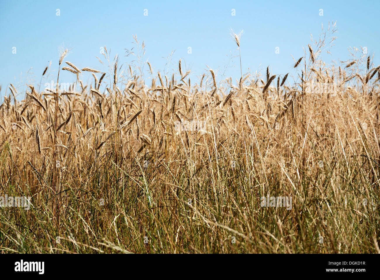 Field of rye in the district of Upper Havel near Gransee in Brandenburg. - Stock Image