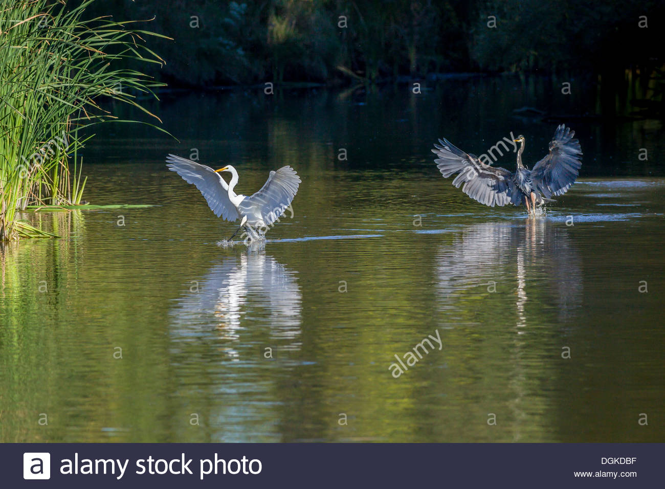 Great Blue Heron chasing a Great Egret (left) away from fishing spot in Rouge National Urban Park in Toronto Ontario Canada - Stock Image