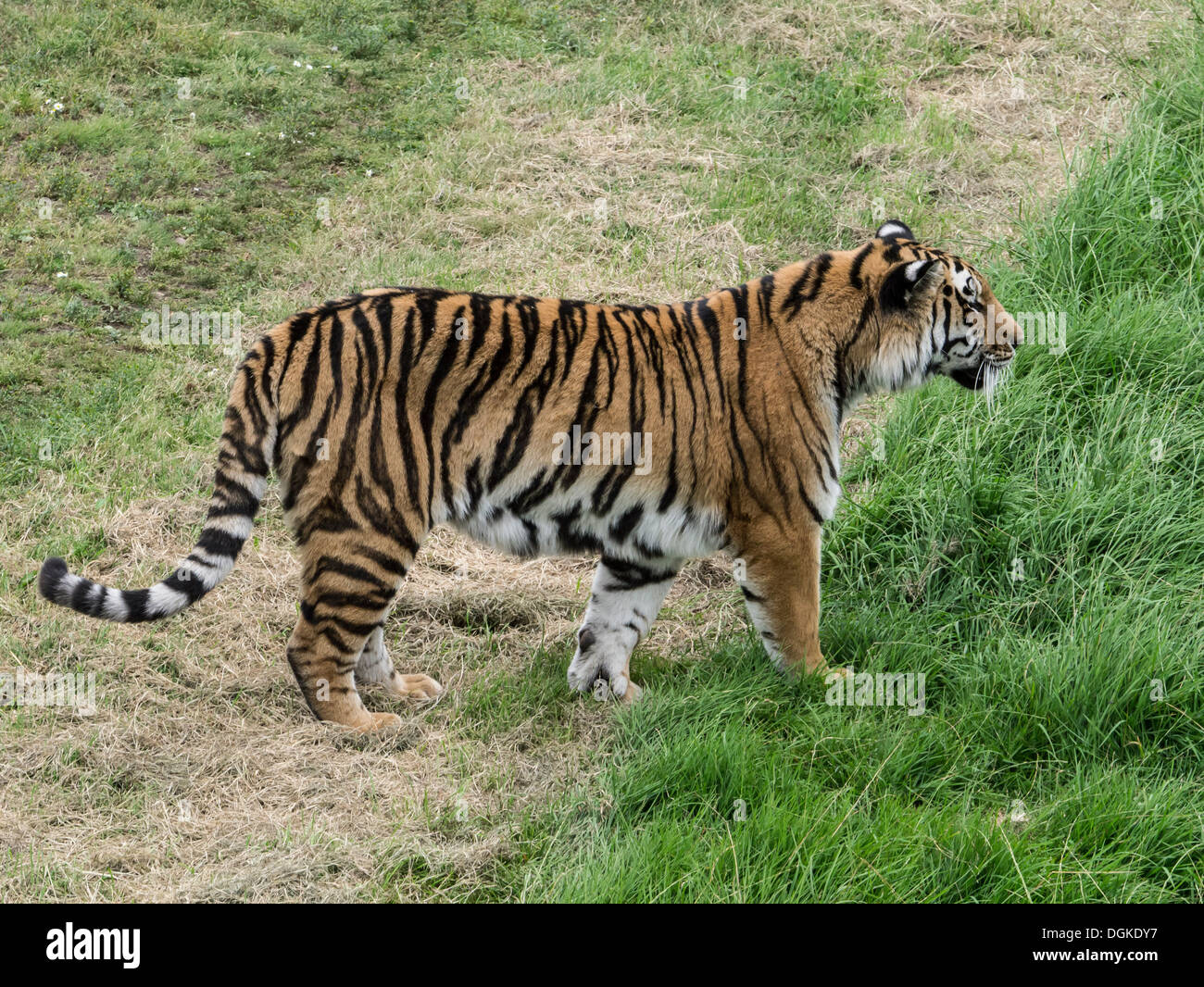 A fearsome tiger walk slowly by ignoring us all - Stock Image