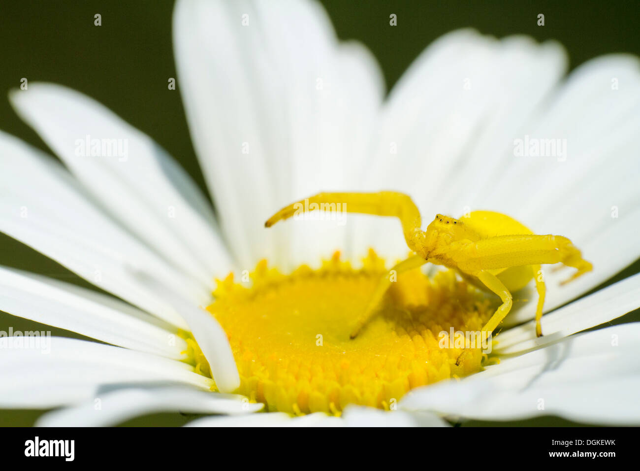 female yellow crab spider waits patiently poised on an oxeye daisy - Stock Image