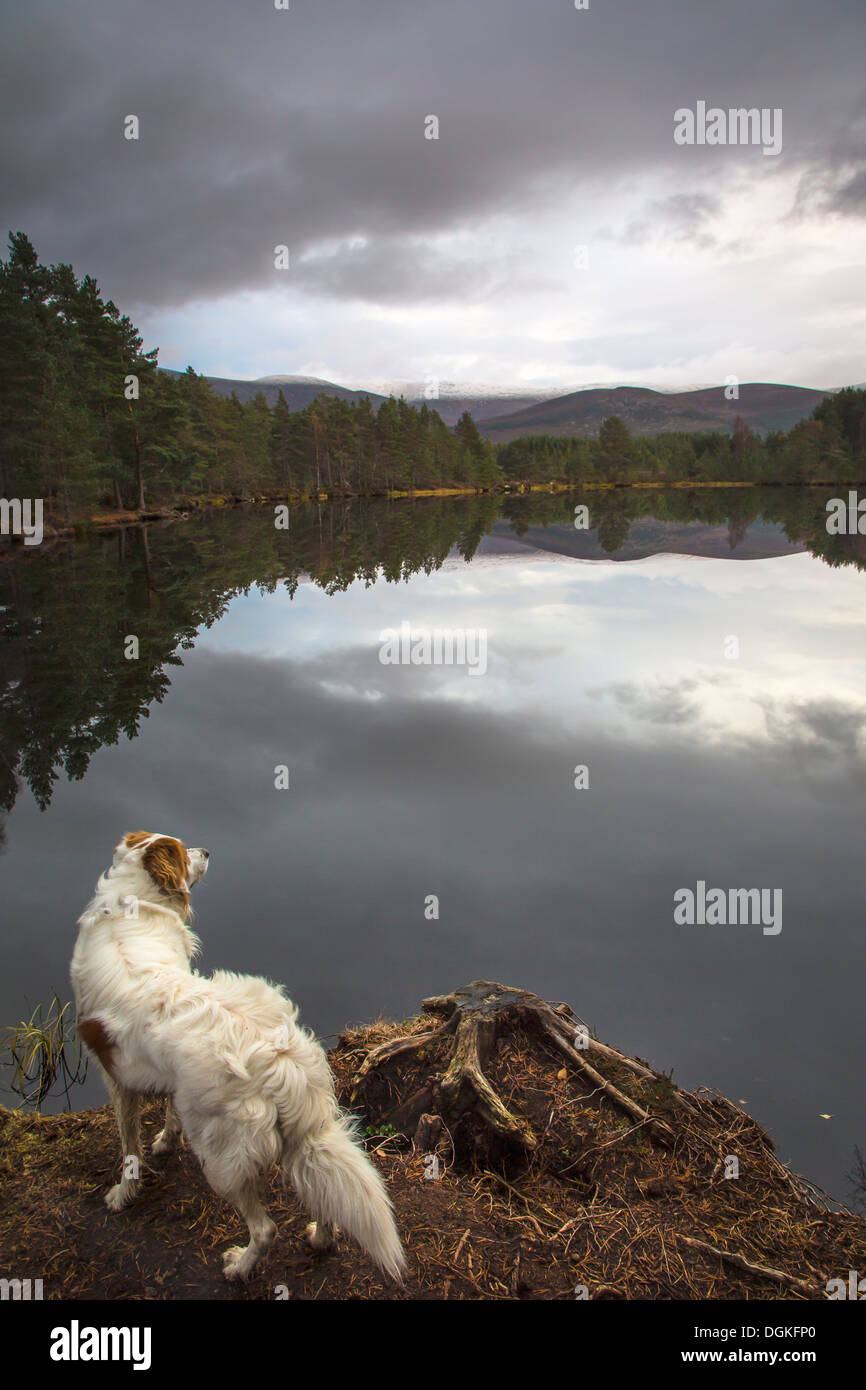 An irish setter suveys the Uath Lochan at Glen Feshie. Stock Photo