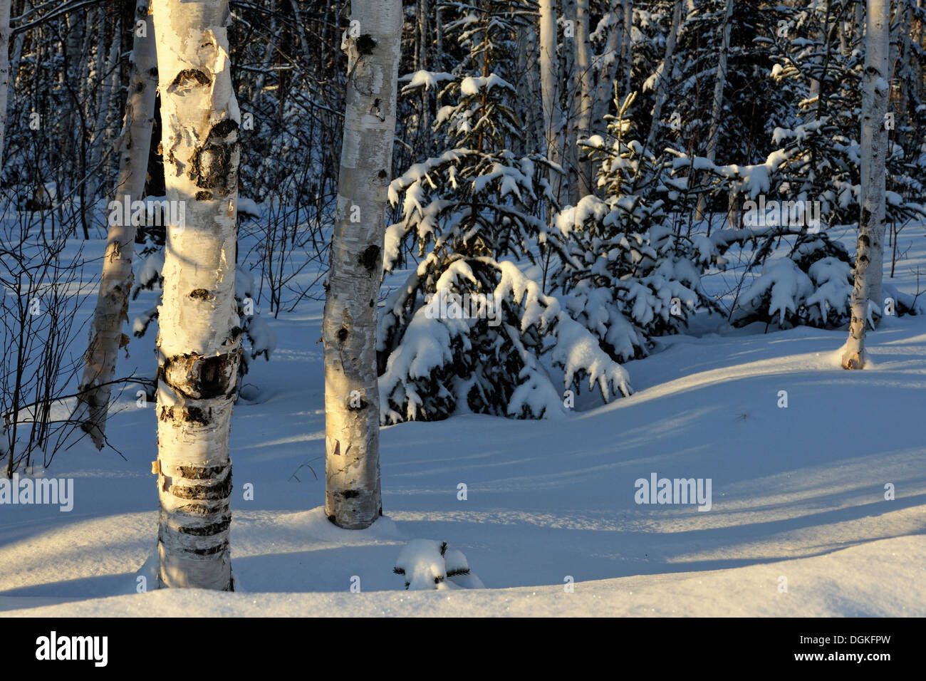 Birch and spruce trees with fresh snow Greater Sudbury Ontario Canada - Stock Image