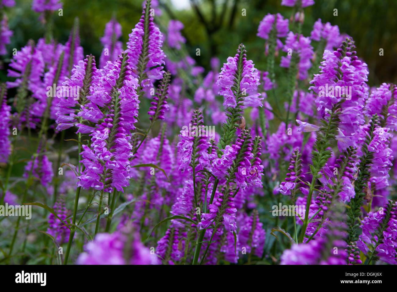 Obedient Plant or False Dragonhead, Physostegia virginiana 'Rosy Spire' - Stock Image