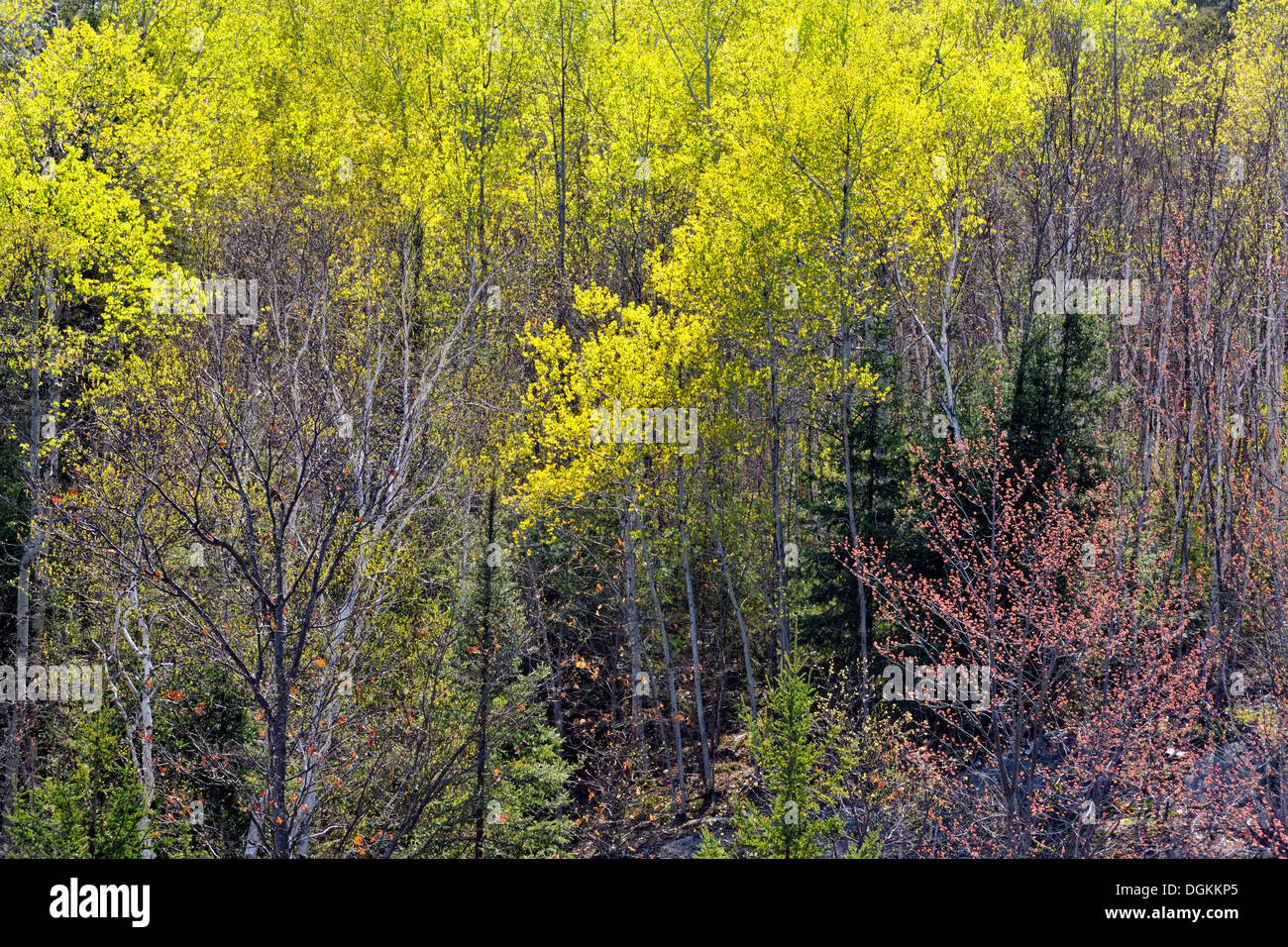 Spruces and hardwoods in early spring Greater Sudbury Ontario Canada - Stock Image