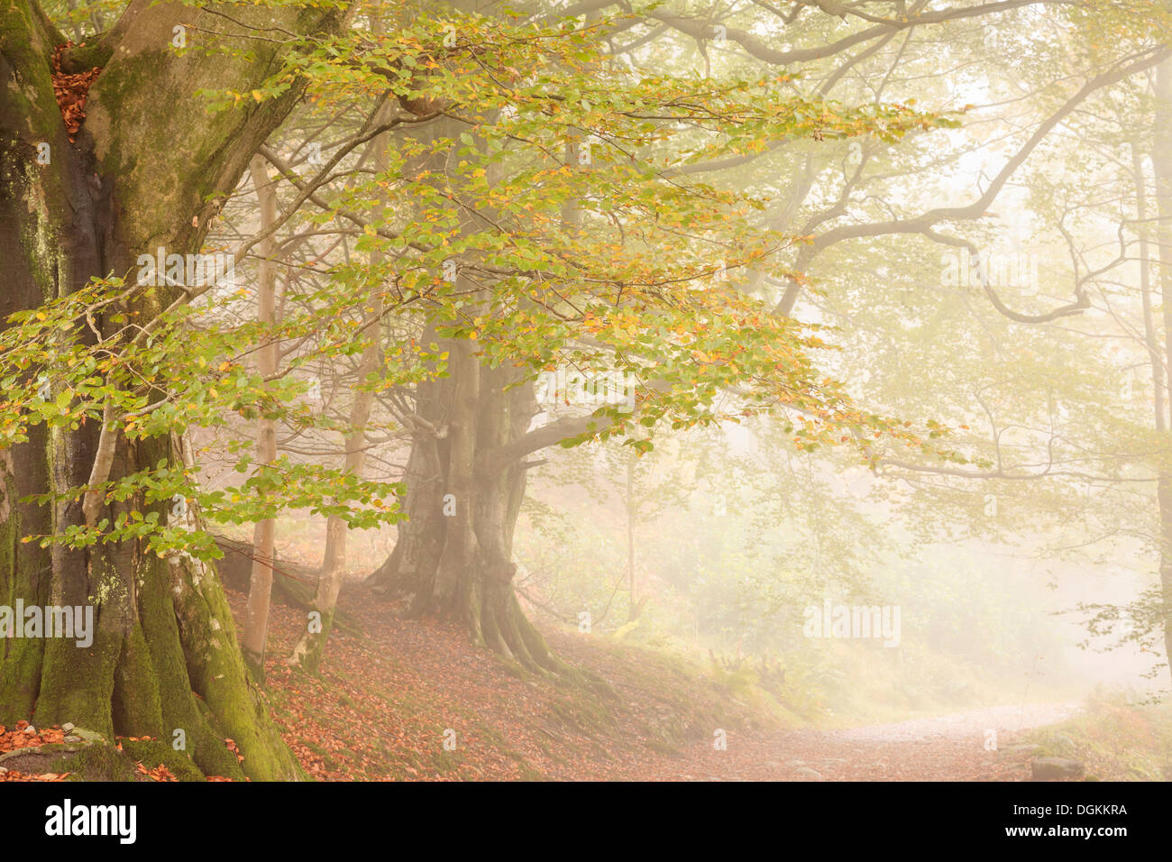 Trees in mist near Grasmere. - Stock Image