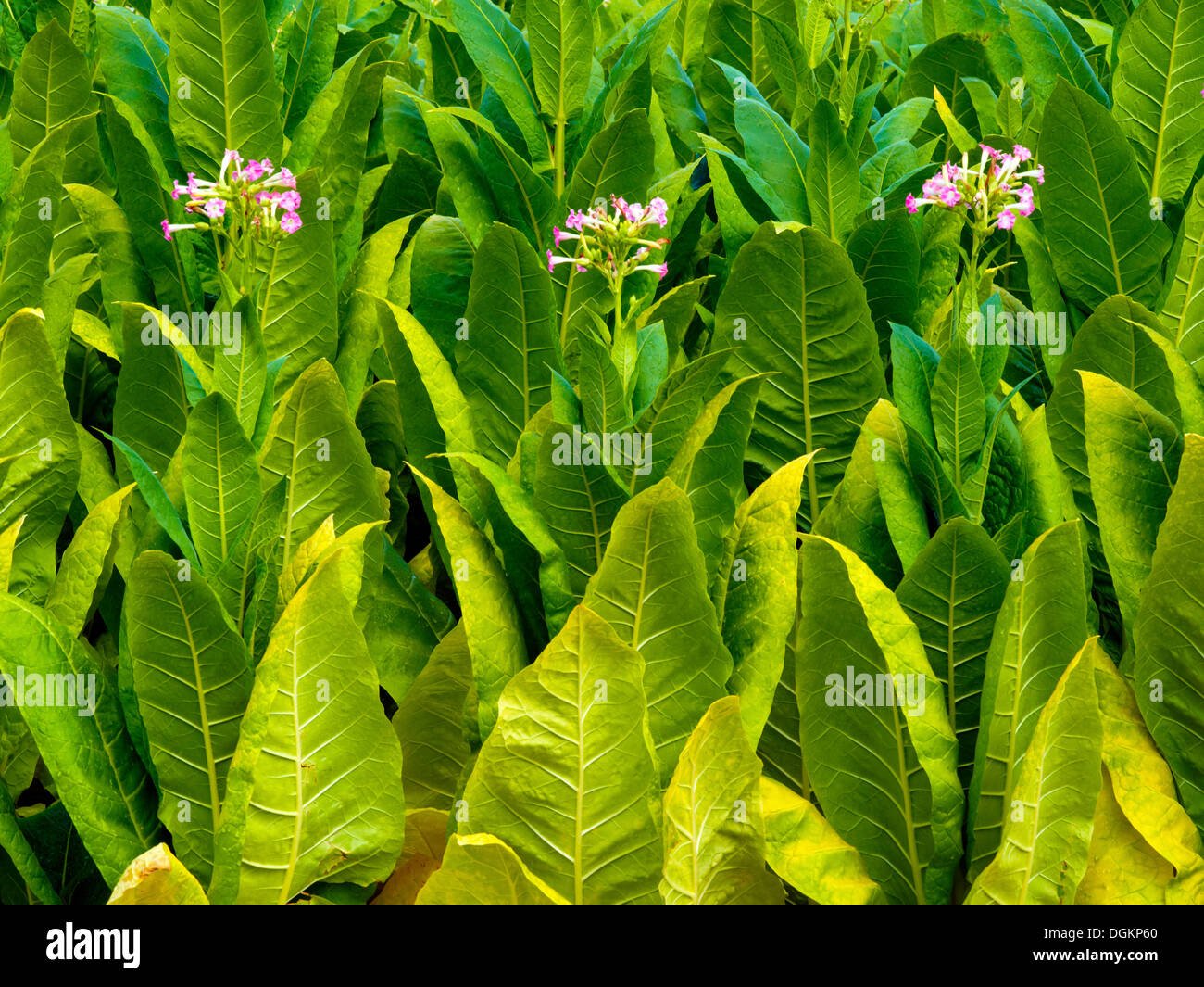 Tobacco leaves beginning to flower. - Stock Image