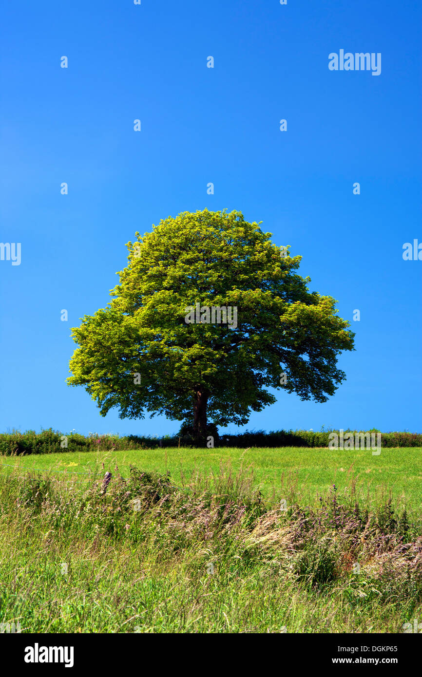 A view of an isolated tree in rural Somerset. - Stock Image