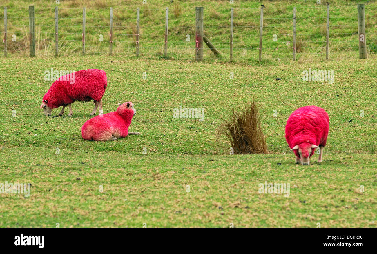 Sheep, died red for promotional purposes, eye-catcher by the roadside, Sheep World Farm and Nature Park, Warkworth, Highway 1 - Stock Image