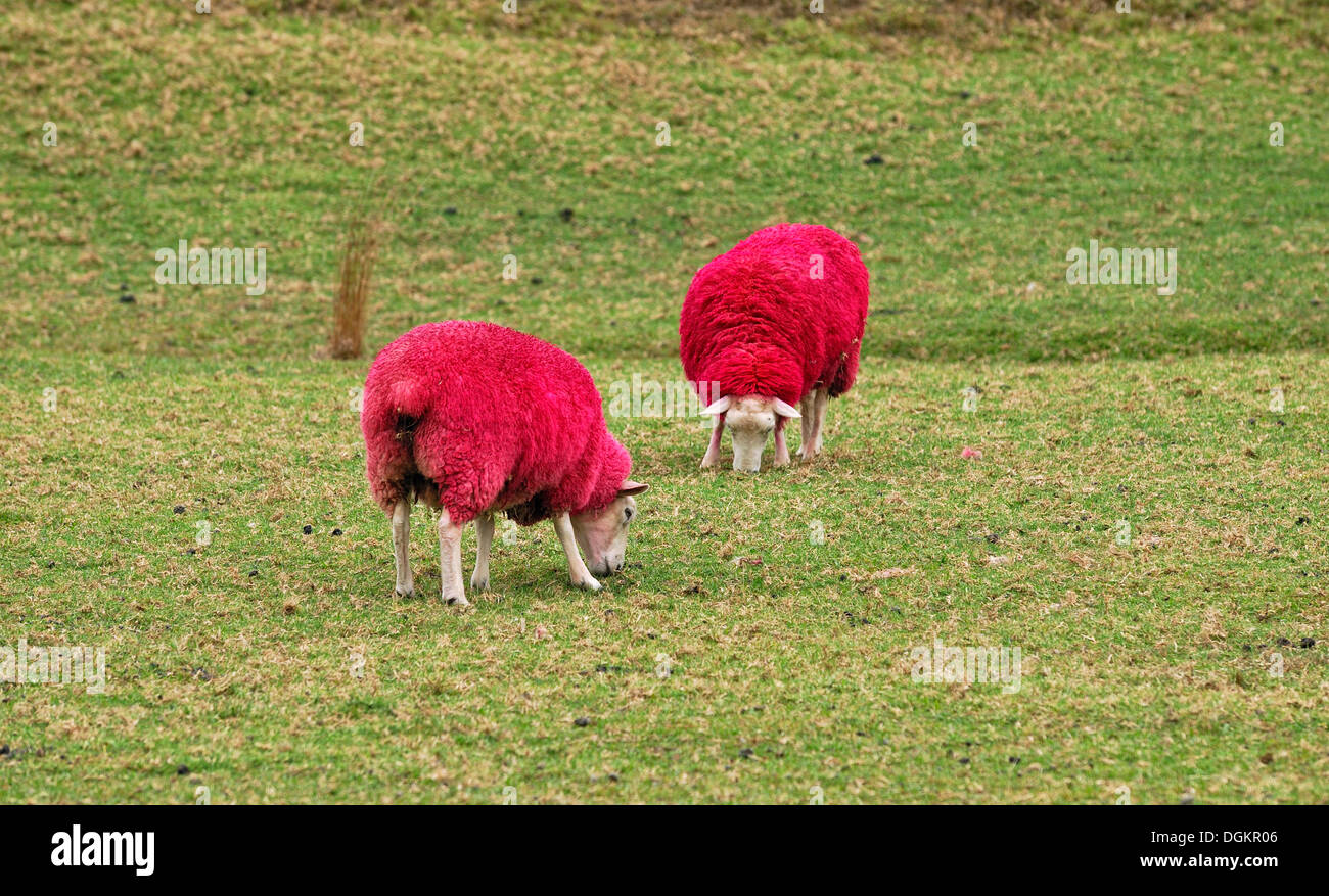 Sheep dyed red for promotional purposes, eye catcher at the roadside, Sheep World Farm and Nature Park, Highway 1, Warkworth - Stock Image