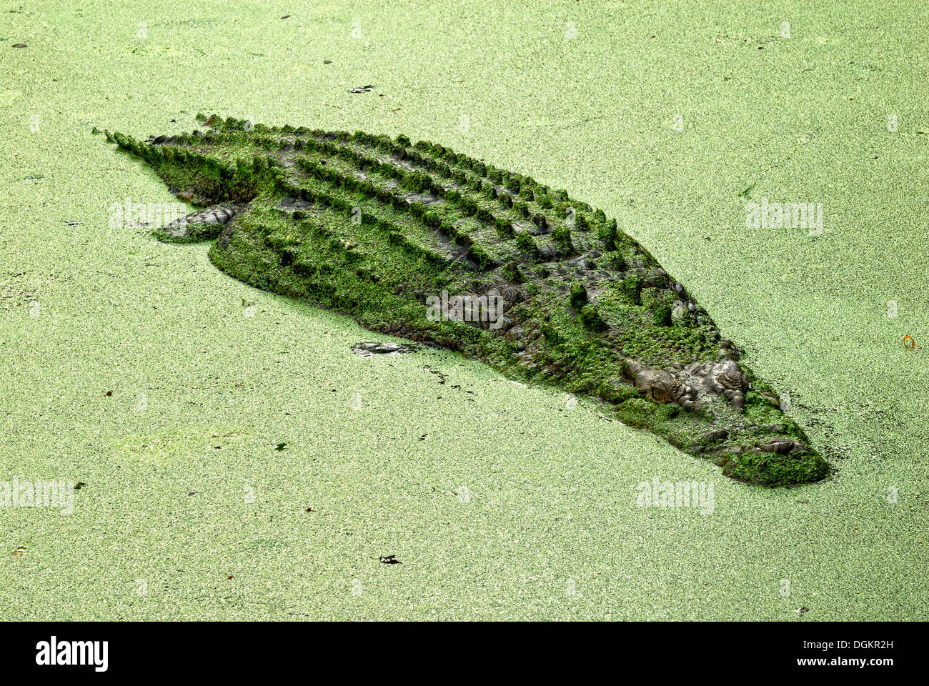 Saltwater or estuarine crocodile (Crocodylus porosus), in backwater covered with duckweed (Lemna minor), Billabong Sanctuary - Stock Image