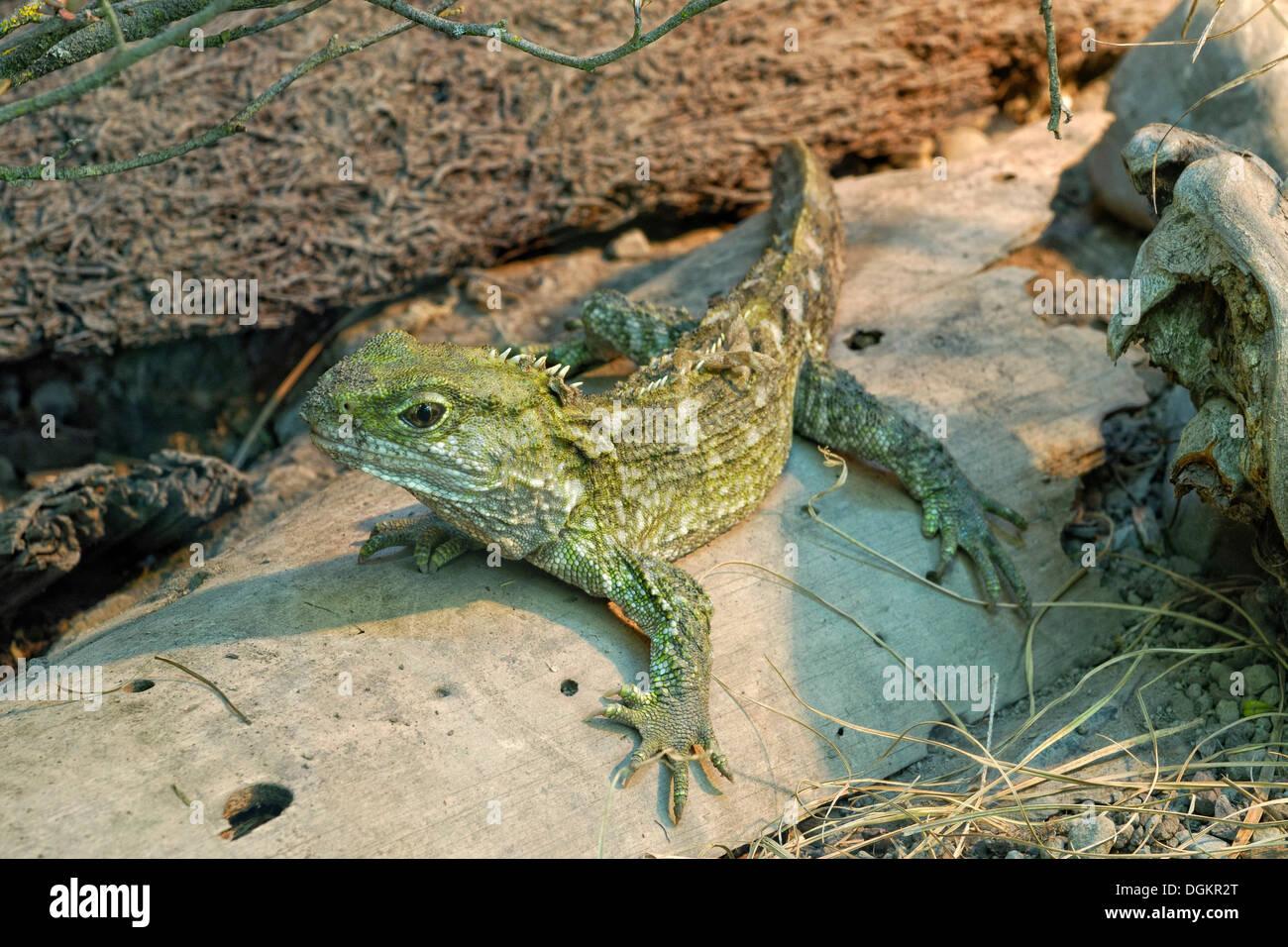 Tuatara (Sphenodon punctatus), endemic, critically endangered species, prehistoric reptile, Willowbank Wildlife Reserve - Stock Image