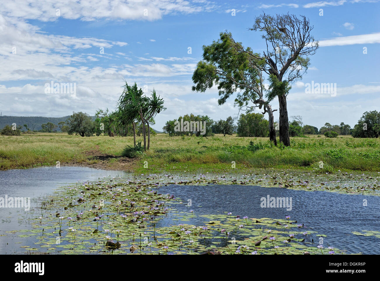 Livestock watering hole with Blue Egyptian Water Lilies or Sacred Blue Lilies (Nymphaea caerulea), Highway 1, Queensland - Stock Image