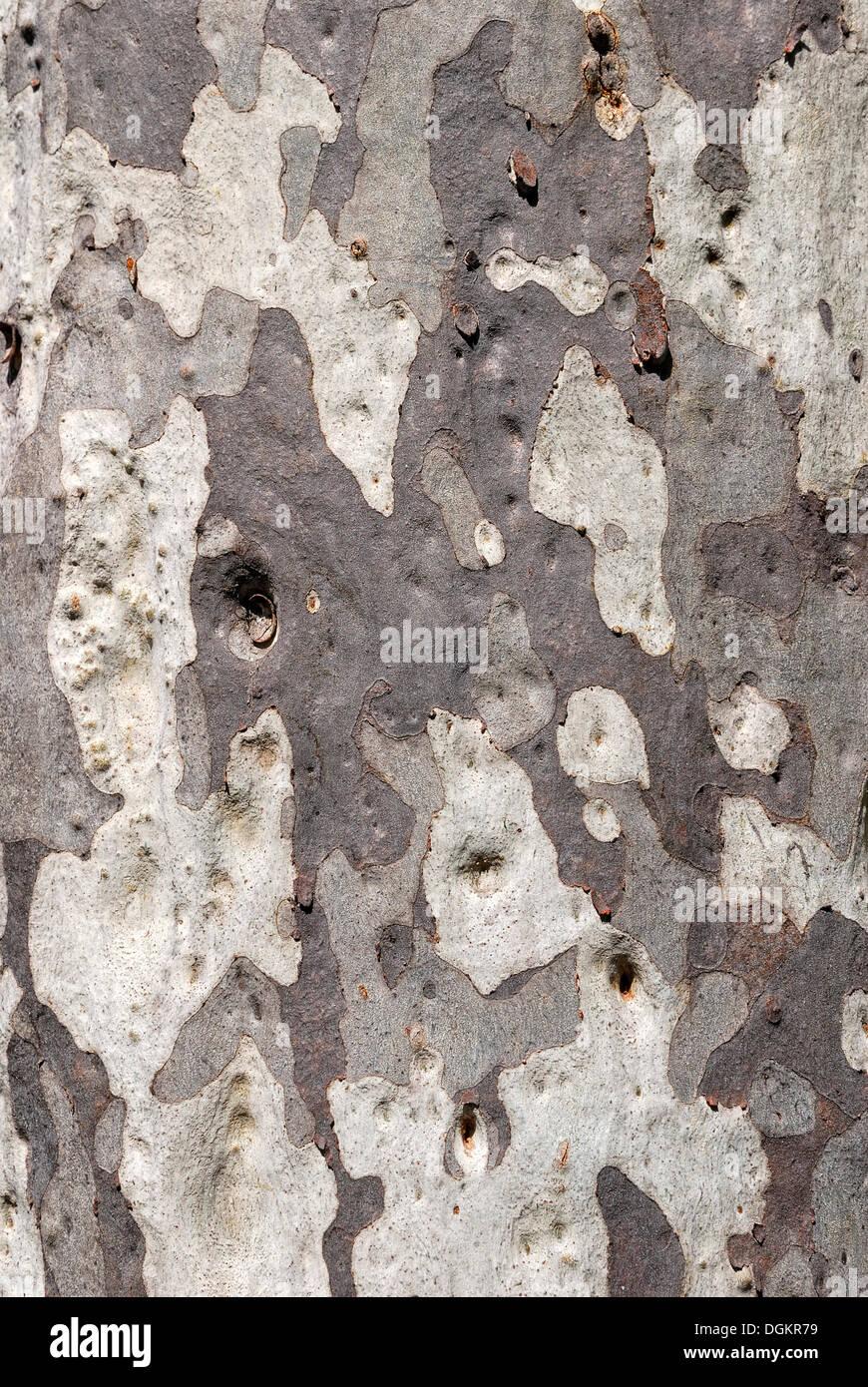 Eucalyptus bark (Eucalyptus), Carnarvon Gorge National Park, Queensland, Australia - Stock Image