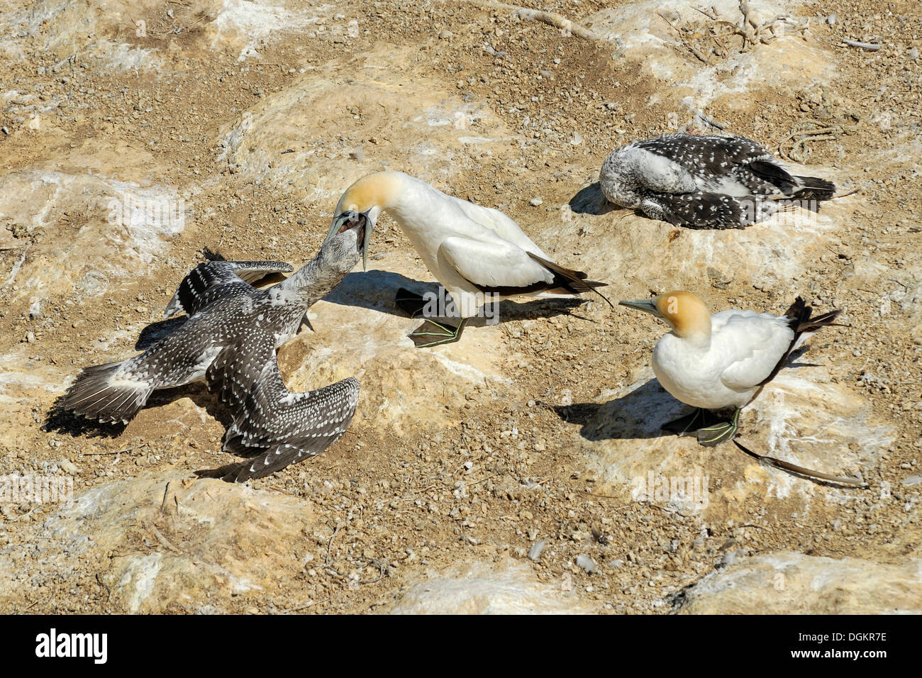 Australasian Gannets (Morus serrator or Sula bassana), young birds being fed by adult birds, Gannet Colony, Takapu Refuge - Stock Image