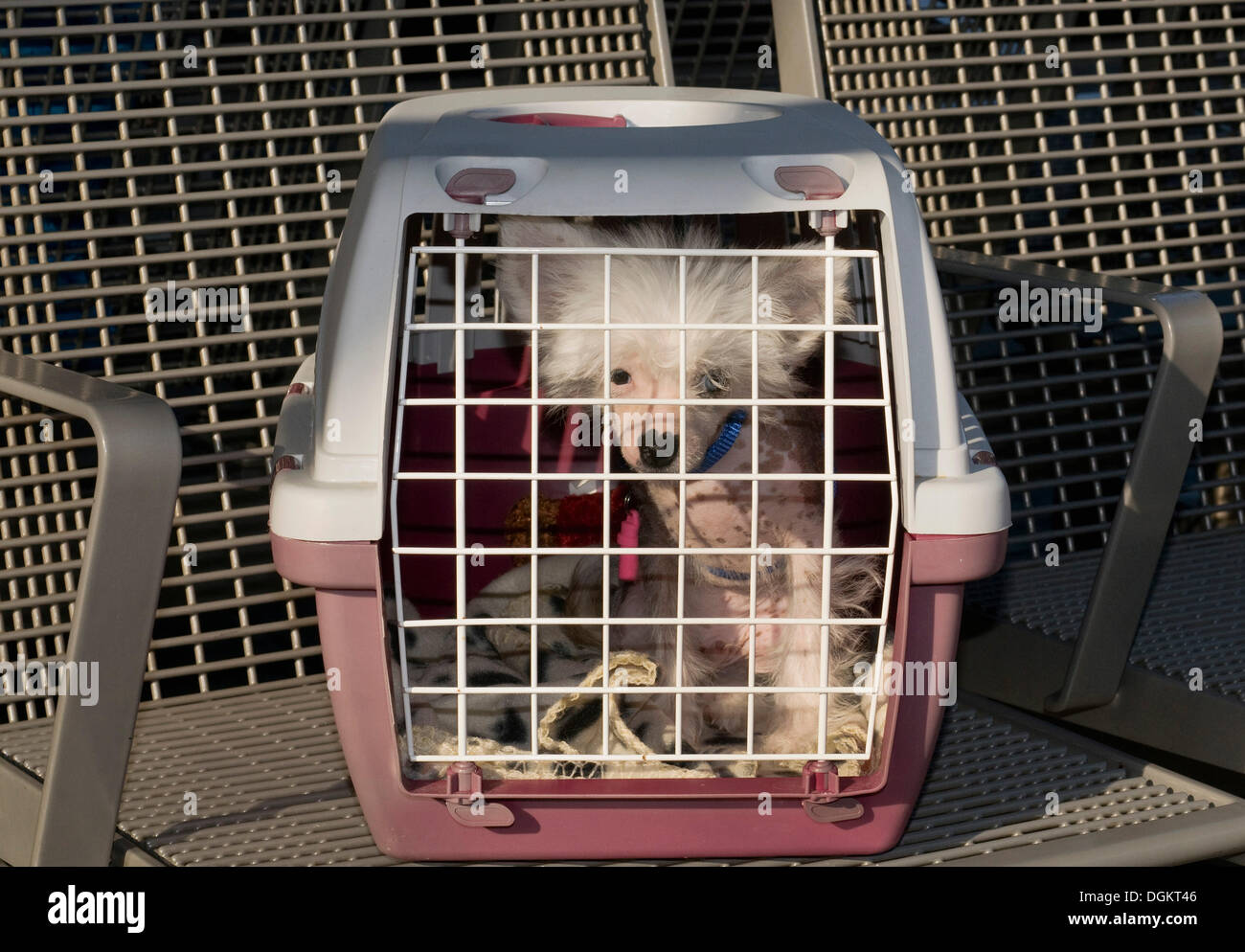 Young Chinese crested dog, hairless dog, in a pet transport case on a bench - Stock Image