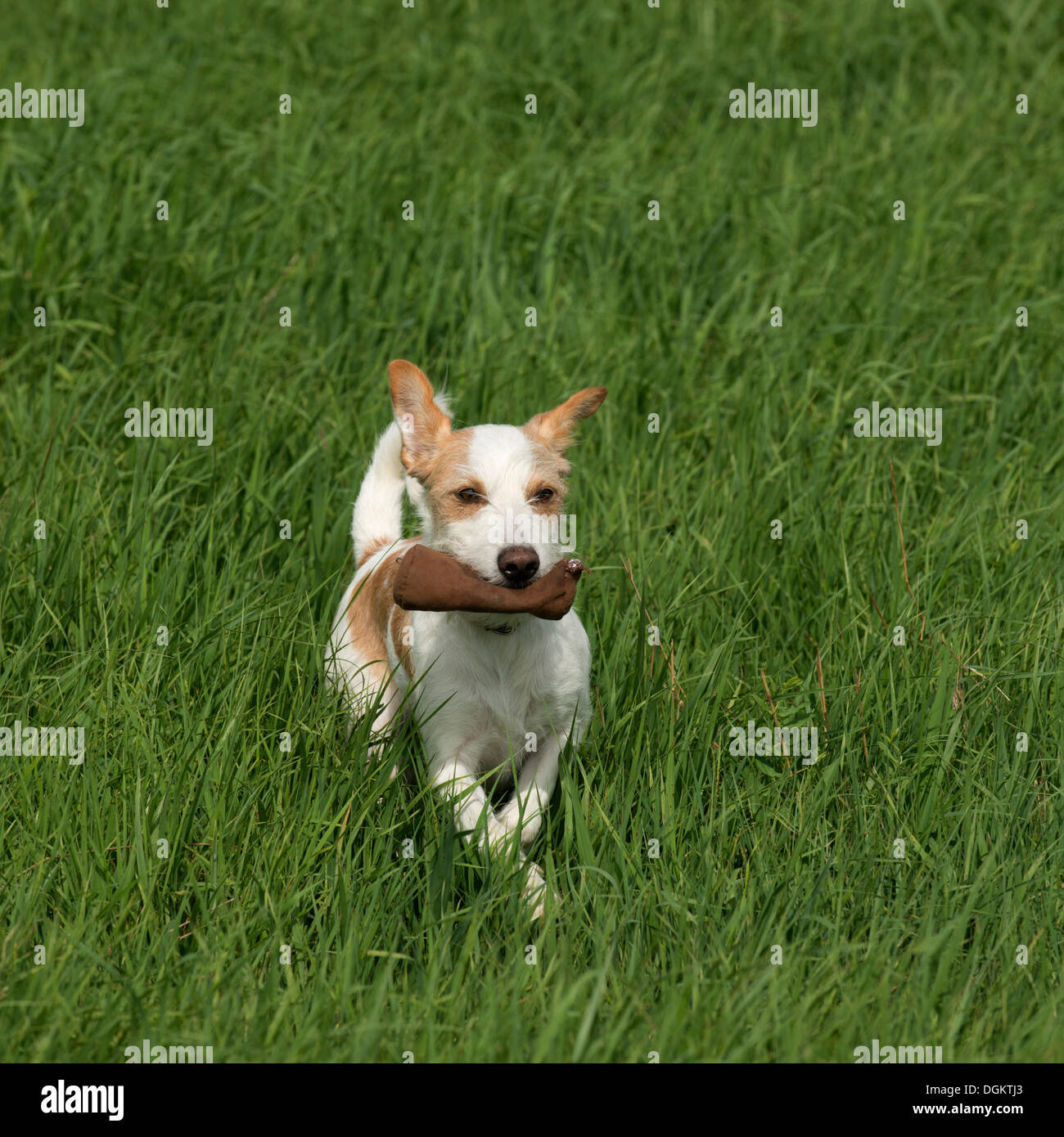 Small terrier running with a small game dummy, PublicGround - Stock Image