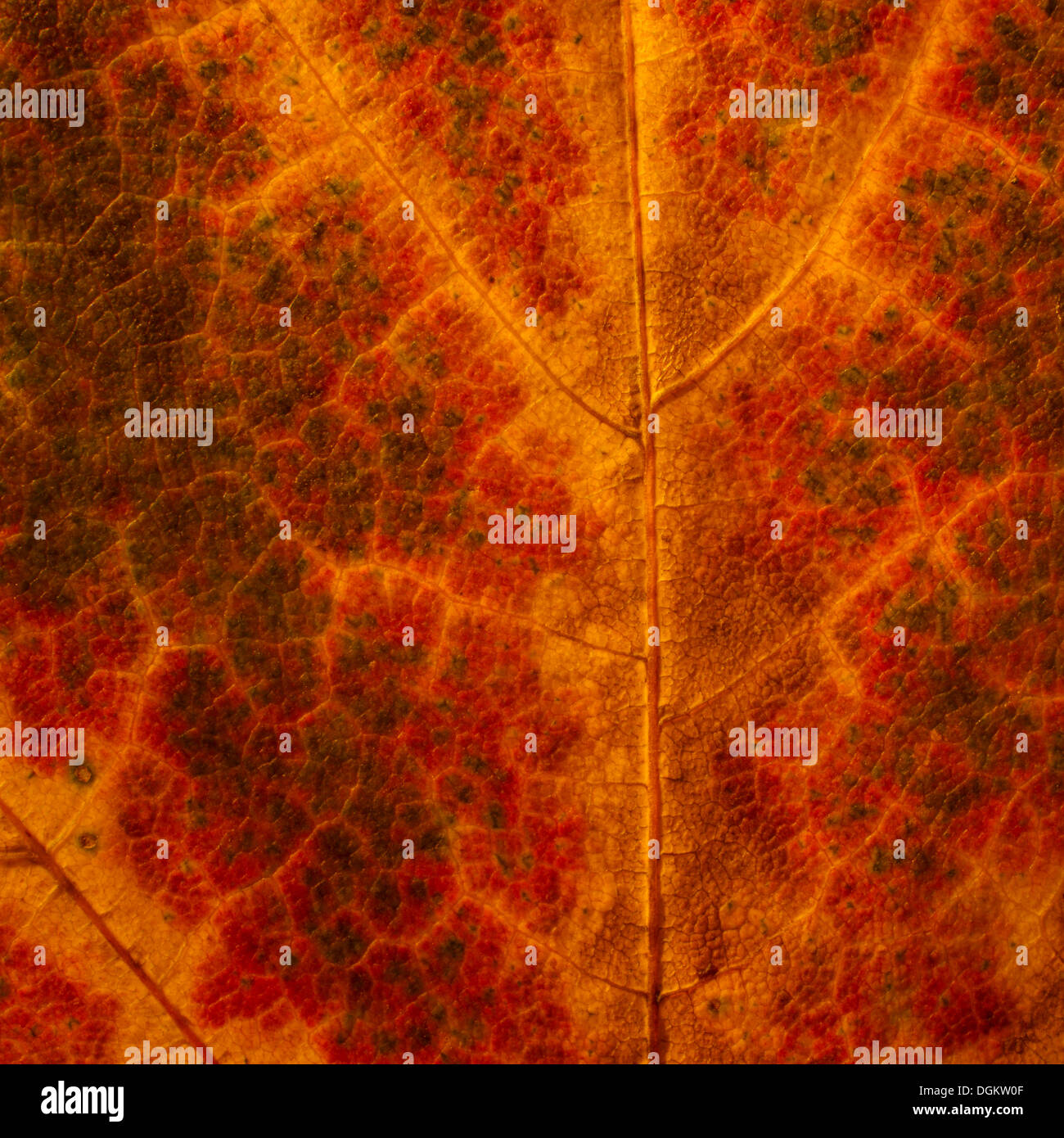 Detail view of an autumn leaf - Stock Image
