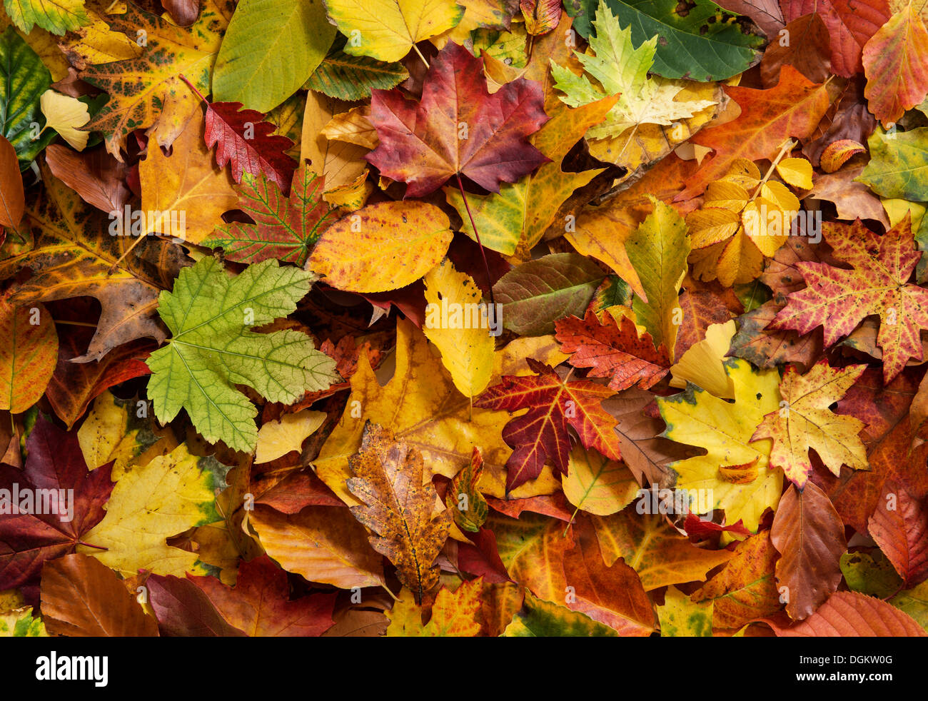 Colorful autumn foliage - Stock Image