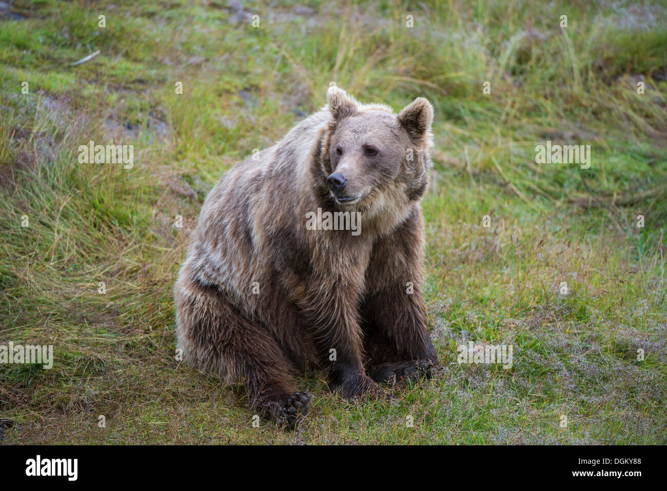 Brown Bear (Ursus arctos) sitting on grass, Namsskogan Familienpark, Trones, Nord-Trøndelag, Trøndelag, Norway - Stock Image