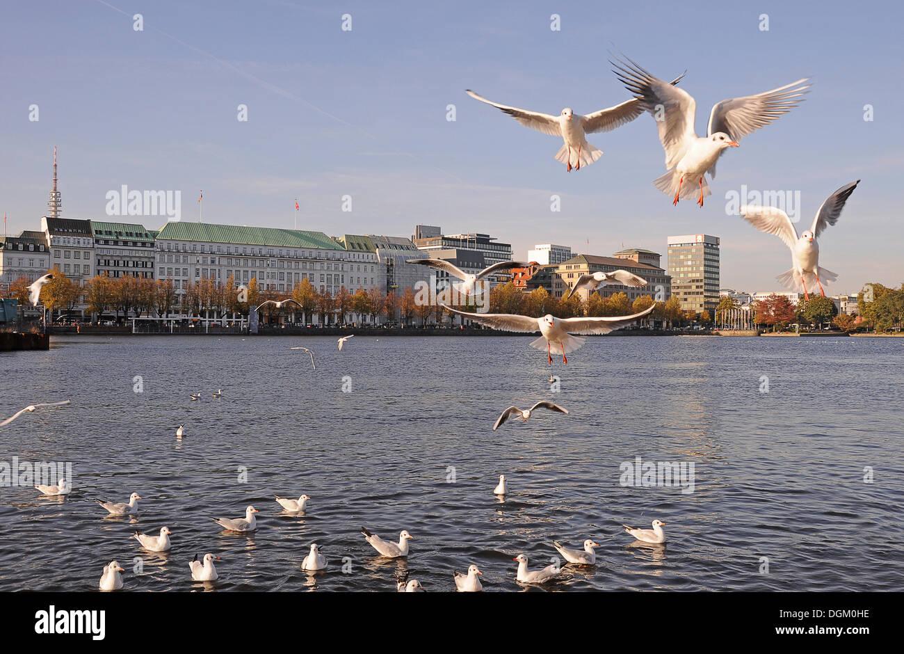 Gulls on the Alster River in Hamburg - Stock Image