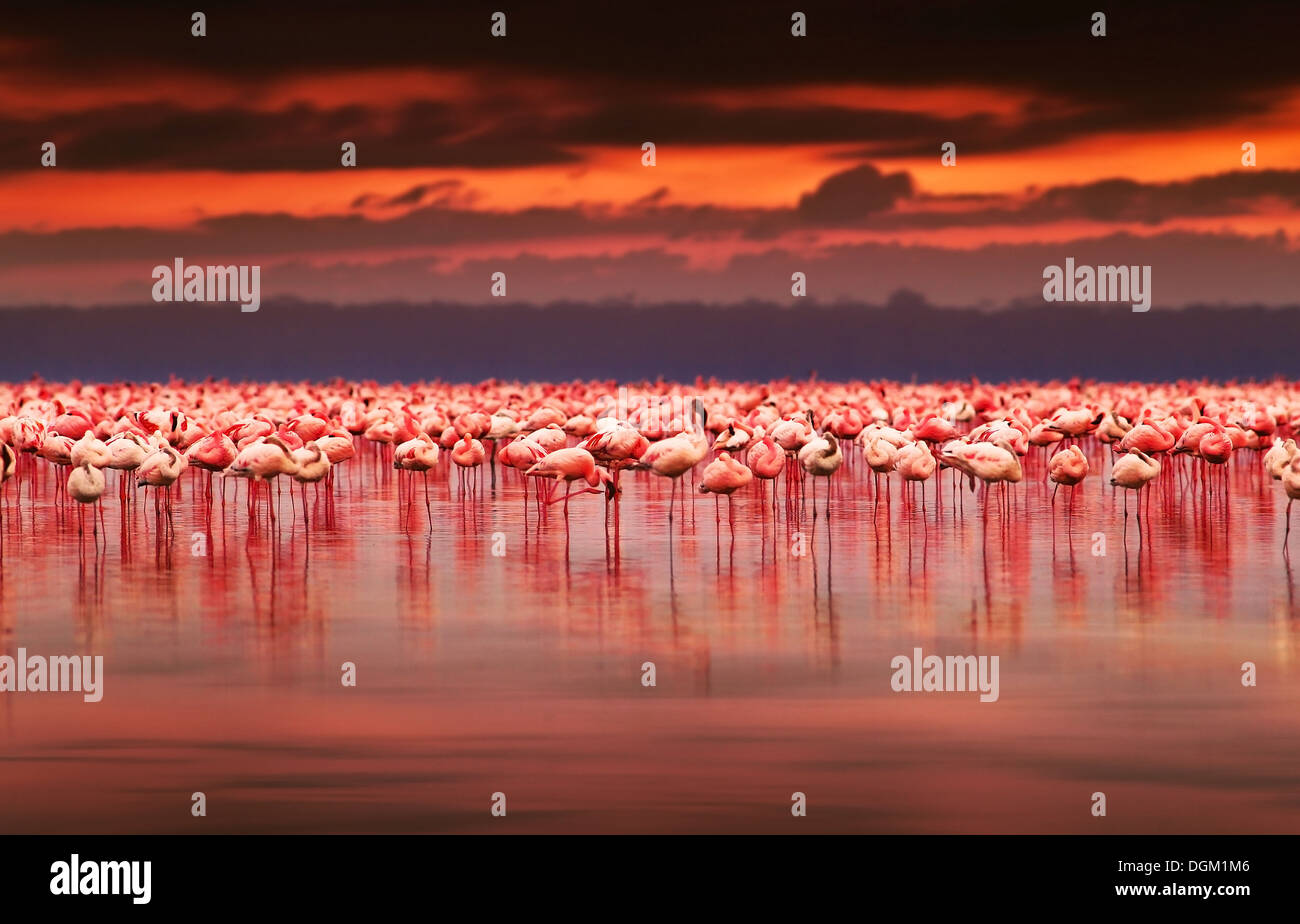 African Flamingos In The Lake Over Beautiful Sunset Flock Of Exotic Birds At Natural Habitat Africa Landscape Kenya Nature