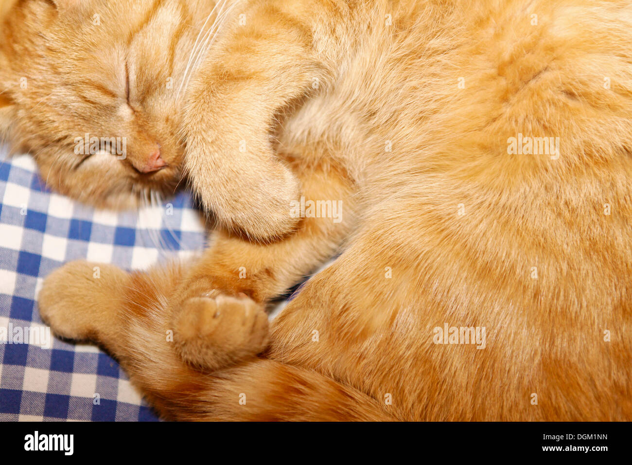 Tiger, house cat of the Carl-von-Stahl-House, a mountain hut from the Alpine Club on the border of Berchtesgaden - Stock Image