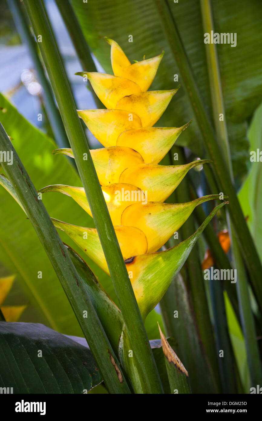 Heliconia, lobster-claws, wild plantains or false bird-of-paradise (Heliconia sp.), Guadeloupe, Lesser Antilles, Caribbean - Stock Image