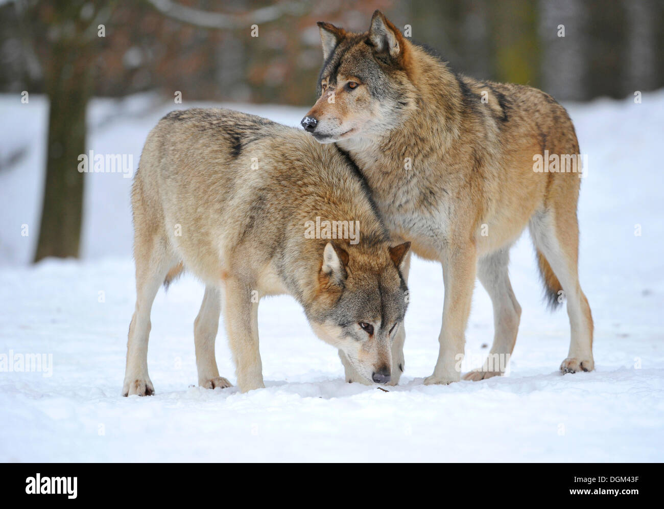 Mackenzie Wolves, Eastern wolf, Canadian wolf (Canis lupus occidentalis) in snow Stock Photo
