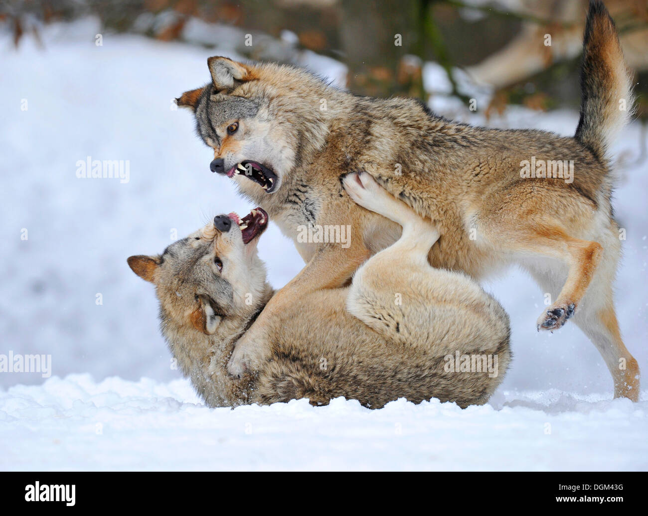 Mackenzie-Wolves, Eastern wolf, Canadian wolf (Canis lupus occidentalis) in snow, fight for social ranking - Stock Image