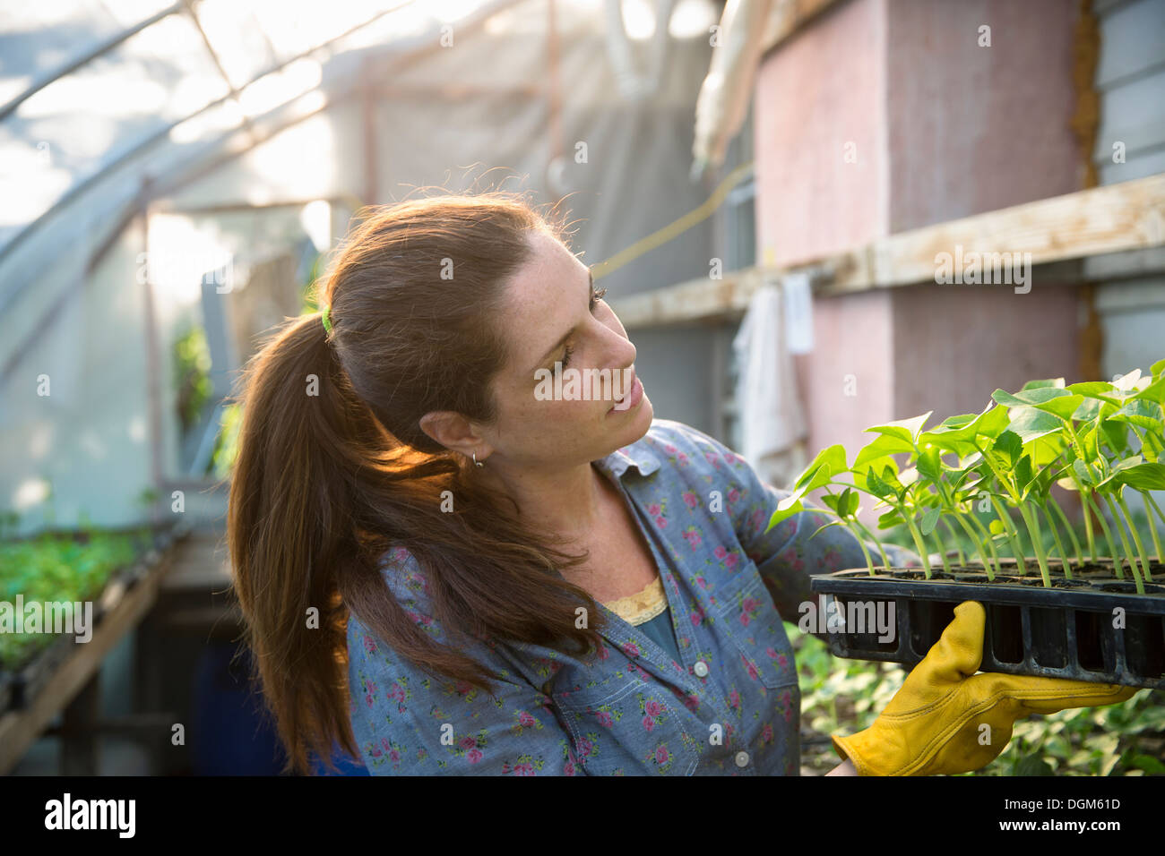 On the farm. A woman carrying trays of young organically grown seedlings, bean plants, out of a glasshouse. Stock Photo