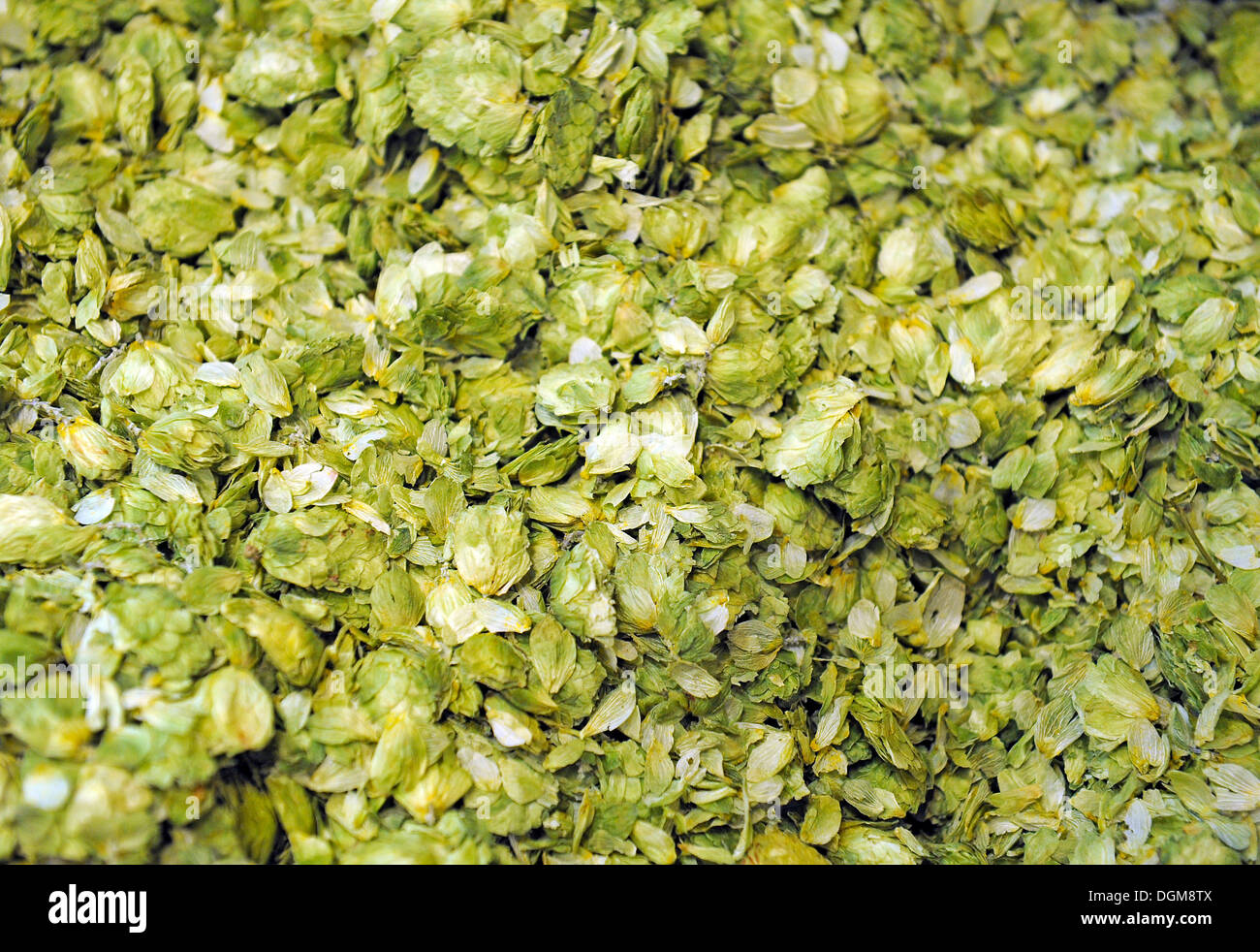 Dried hops (Humulus lupulus), for beer brewing - Stock Image