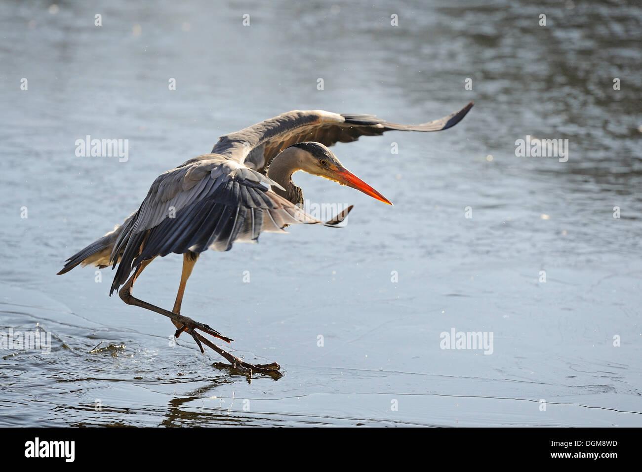 Grey Heron (Ardea cinerea) landing on the thin ice of a lake - Stock Image