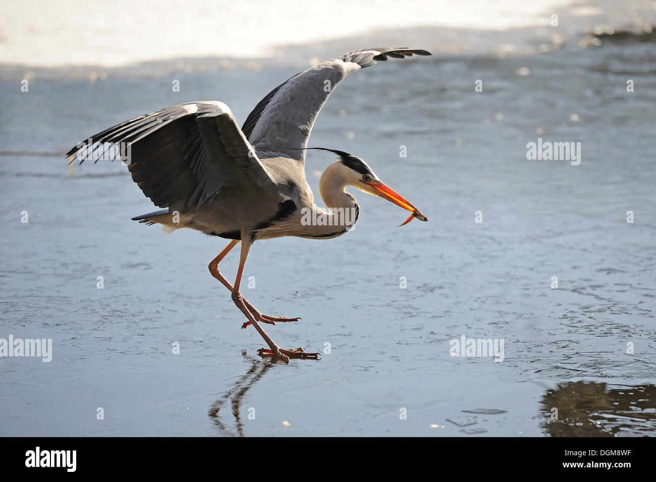 Grey Heron (Ardea cinerea) on thin ice with caught fish - Stock Image