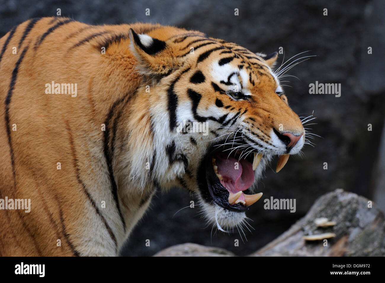 Siberian Tiger (Panthera tigris altaica), aggressively baring his teeth, Asia - Stock Image