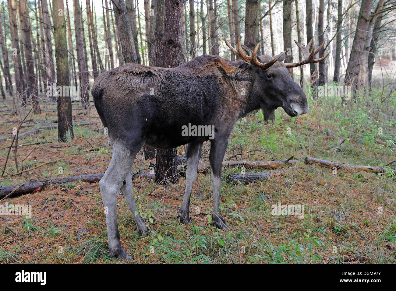 Moose (Alces alces) in its natural environment - Stock Image