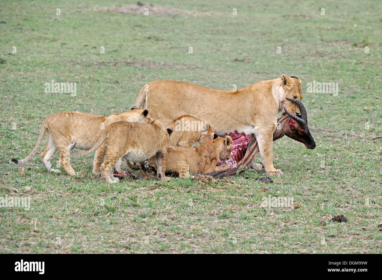 Lion (Panthera leo), lion family feeding on a killed Topi (Damaliscus lunatus), Masai Mara, Kenya, East Africa, Africa - Stock Image