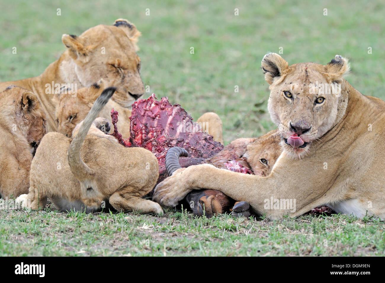Family of lions (Panthera leo), eating a common tsessebe (Damaliscus lunatus), Maasai Mara National Reserve, Kenya, East Africa - Stock Image