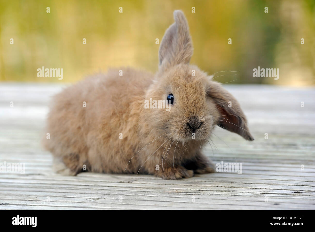 Young Domestic Rabbit (Oryctolagus cuniculus forma domestica) with floppy ears - Stock Image