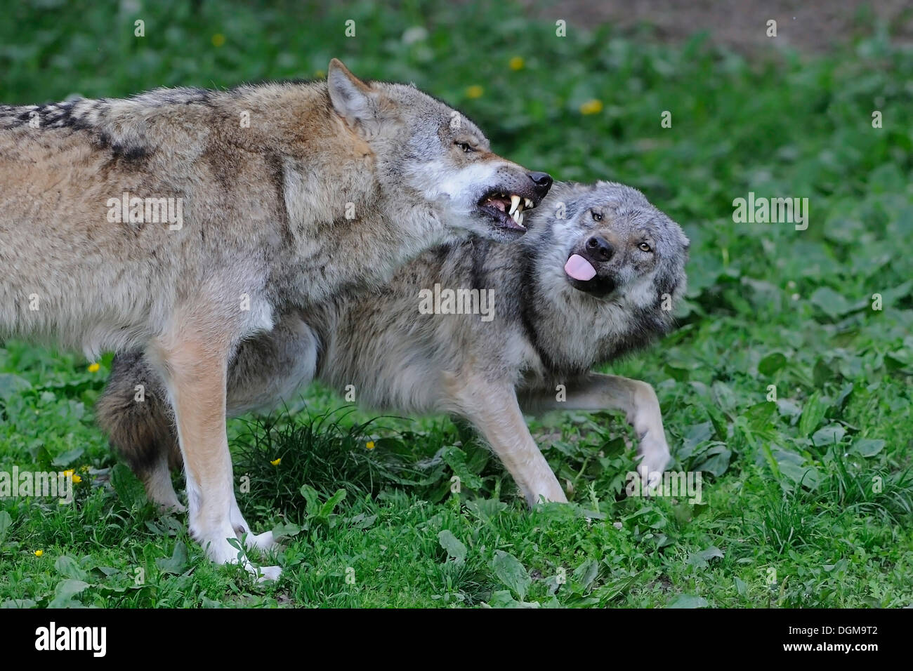 Wolves (Canis lupus), fighting to display dominance, Hesse - Stock Image