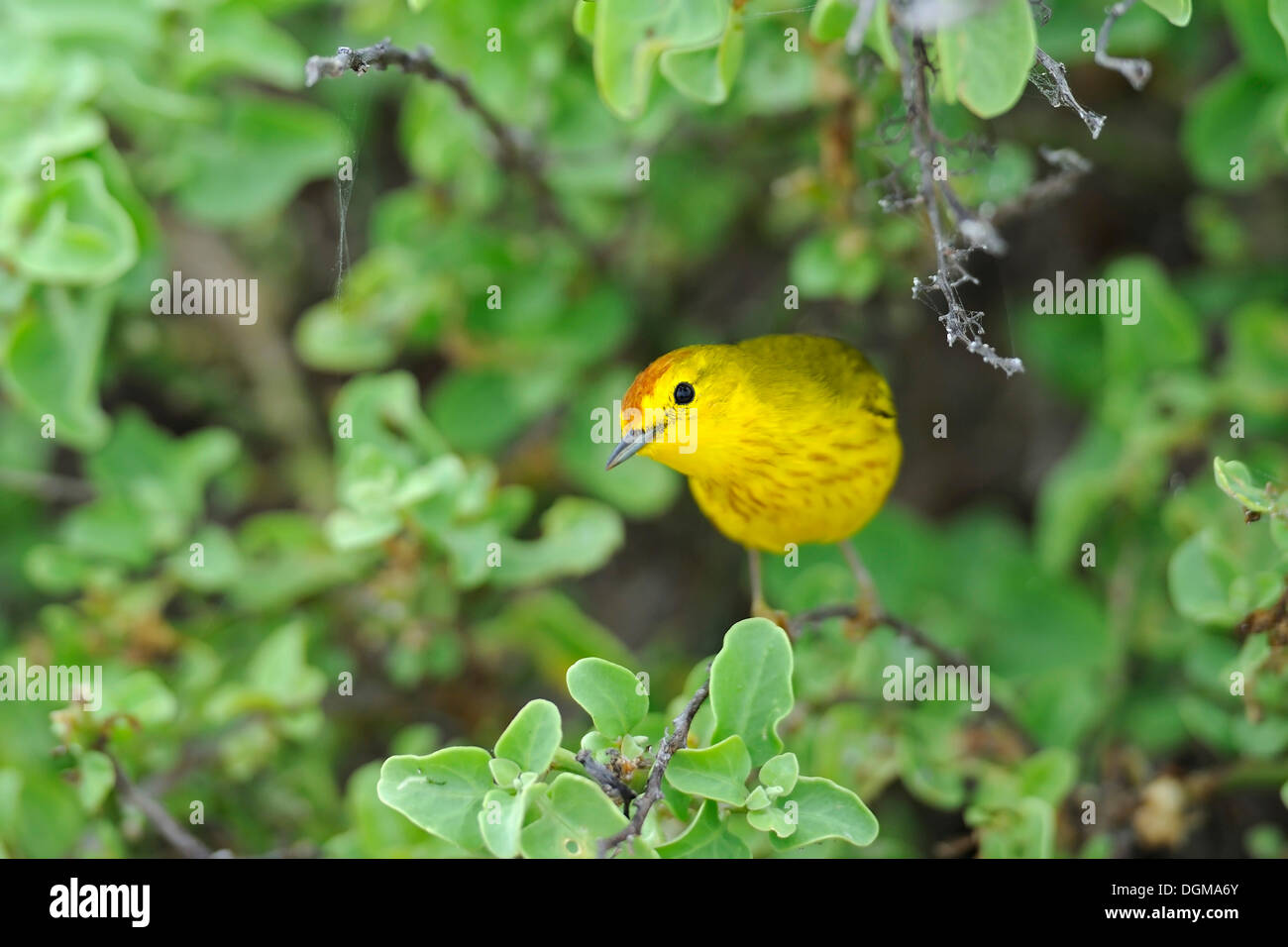 Yellow Warbler (Setophaga petechia formerly Dendroica petechia), adult, male, Española Island, Galapagos Islands - Stock Image