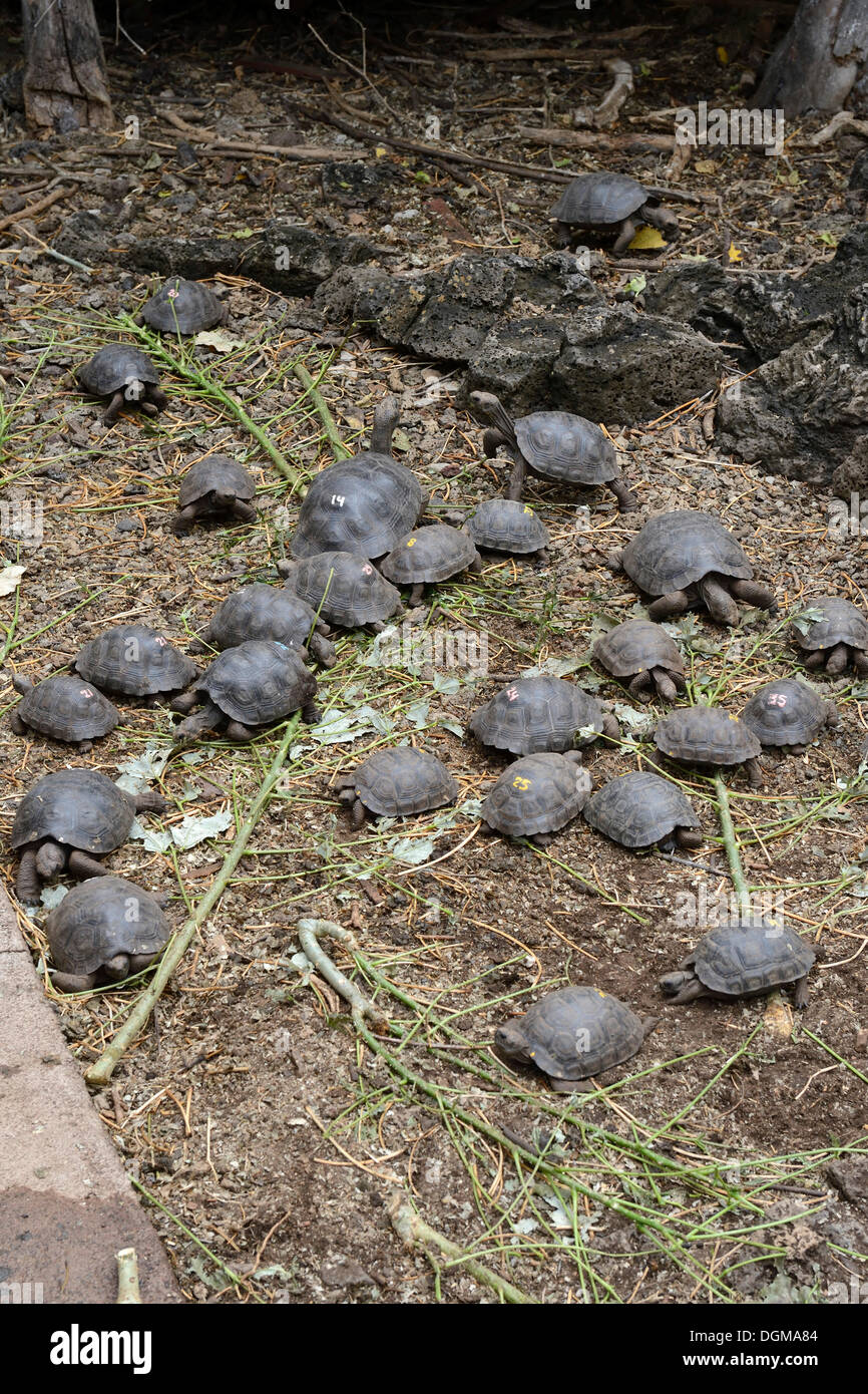 Young bred Giant Tortoises (Geochelone spp.) in pens of different subspecies at the Charles Darwin Research Station - Stock Image