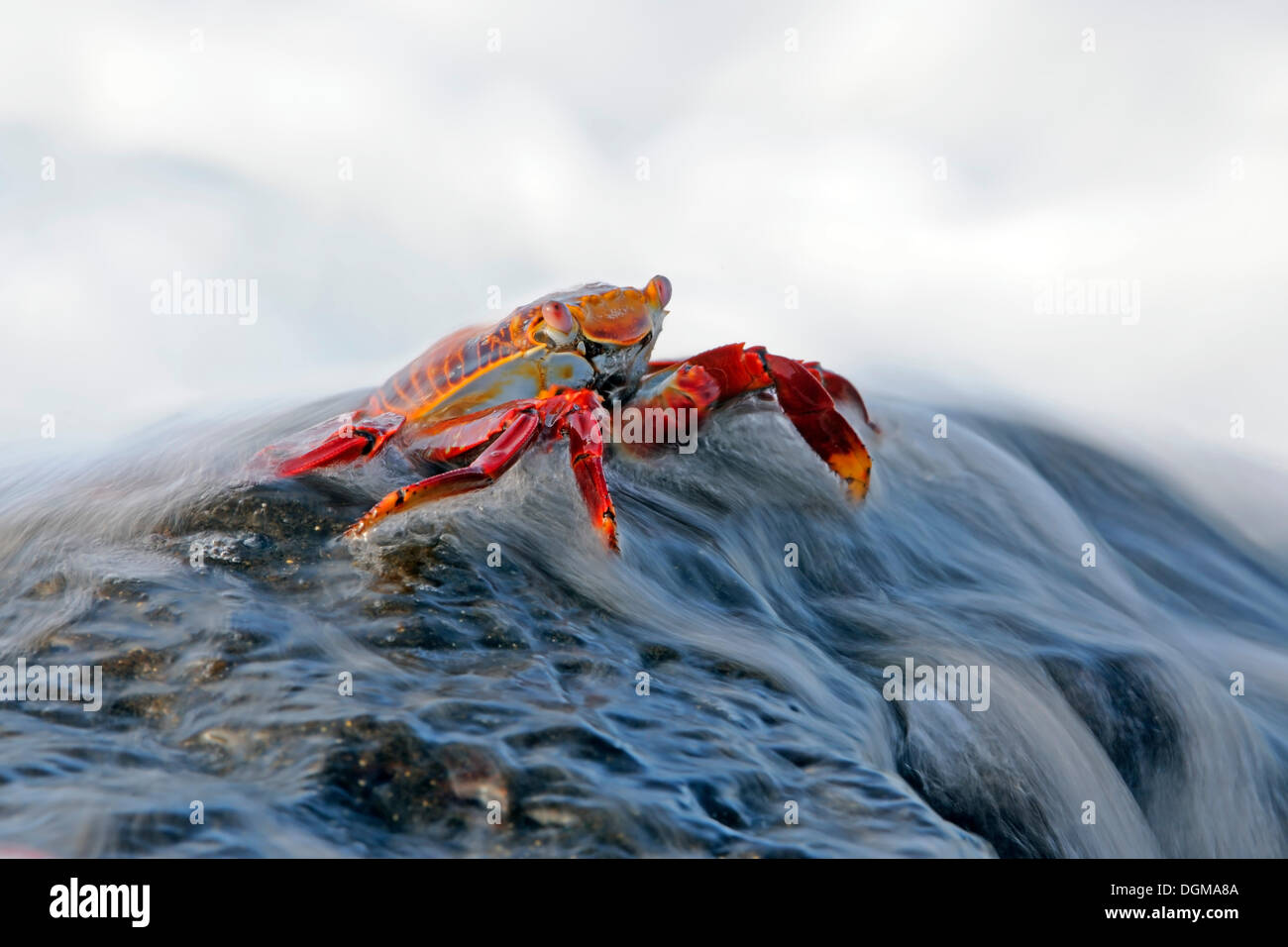 Red Rock Crab or Sally Lightfoot Crab (Grapsus Grapsus) being washed over by a wave, Espanola Island, Galapagos - Stock Image