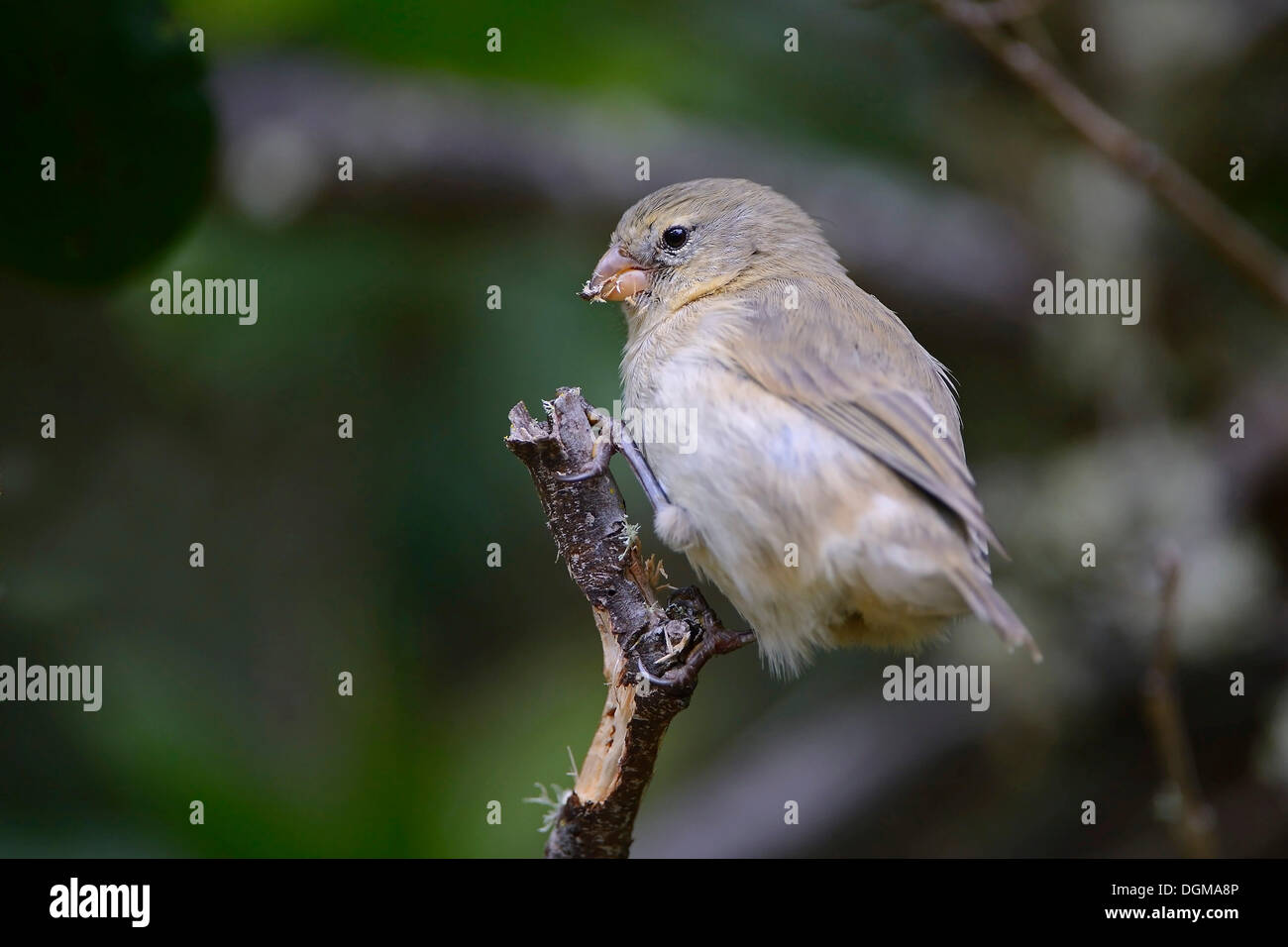 Small Tree Finch (Camarhynchus parvulus), Isabela Island, Galapagos Islands, UNESCO World Natural Heritage Site, Ecuador - Stock Image