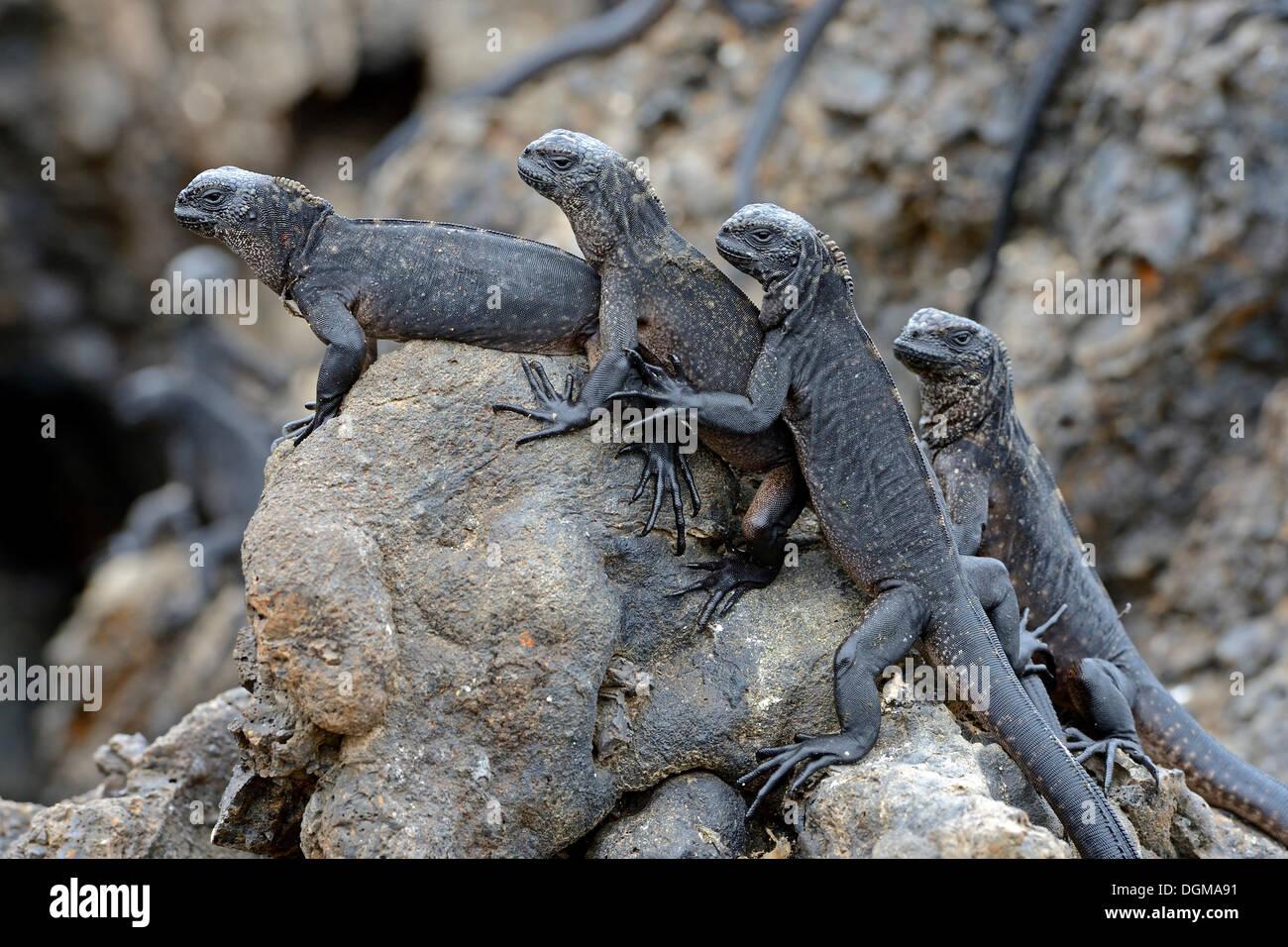 Marine Iguanas (Amblyrhynchus cristatus), subspecies from Isabela Island, Galapagos Islands, UNESCO World Natural Heritage Site - Stock Image