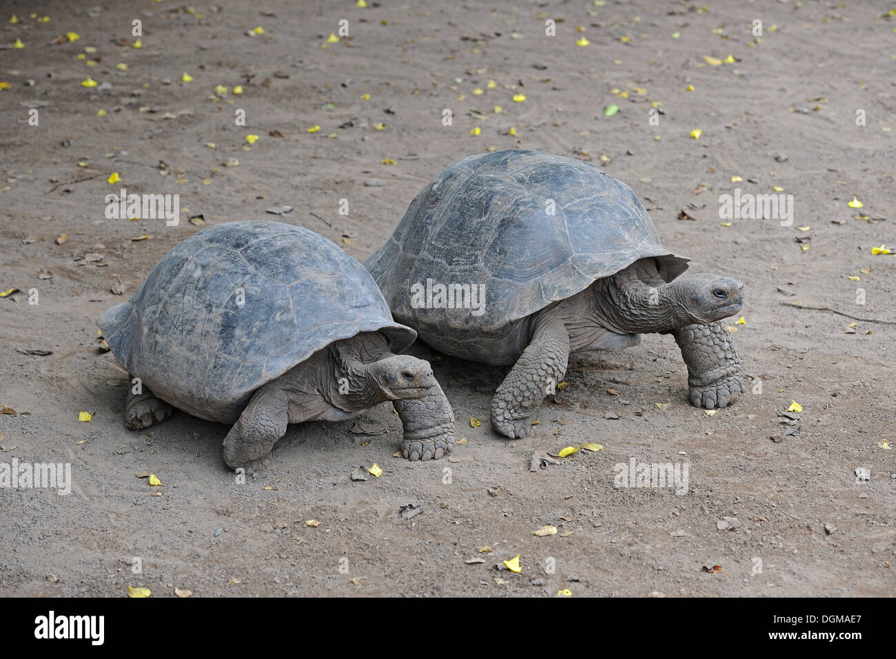 Mature specimens of the Galapagos Giant Tortoise (Geochelone elephantopus guentheri), subspecies from the Sierra Negra area on - Stock Image