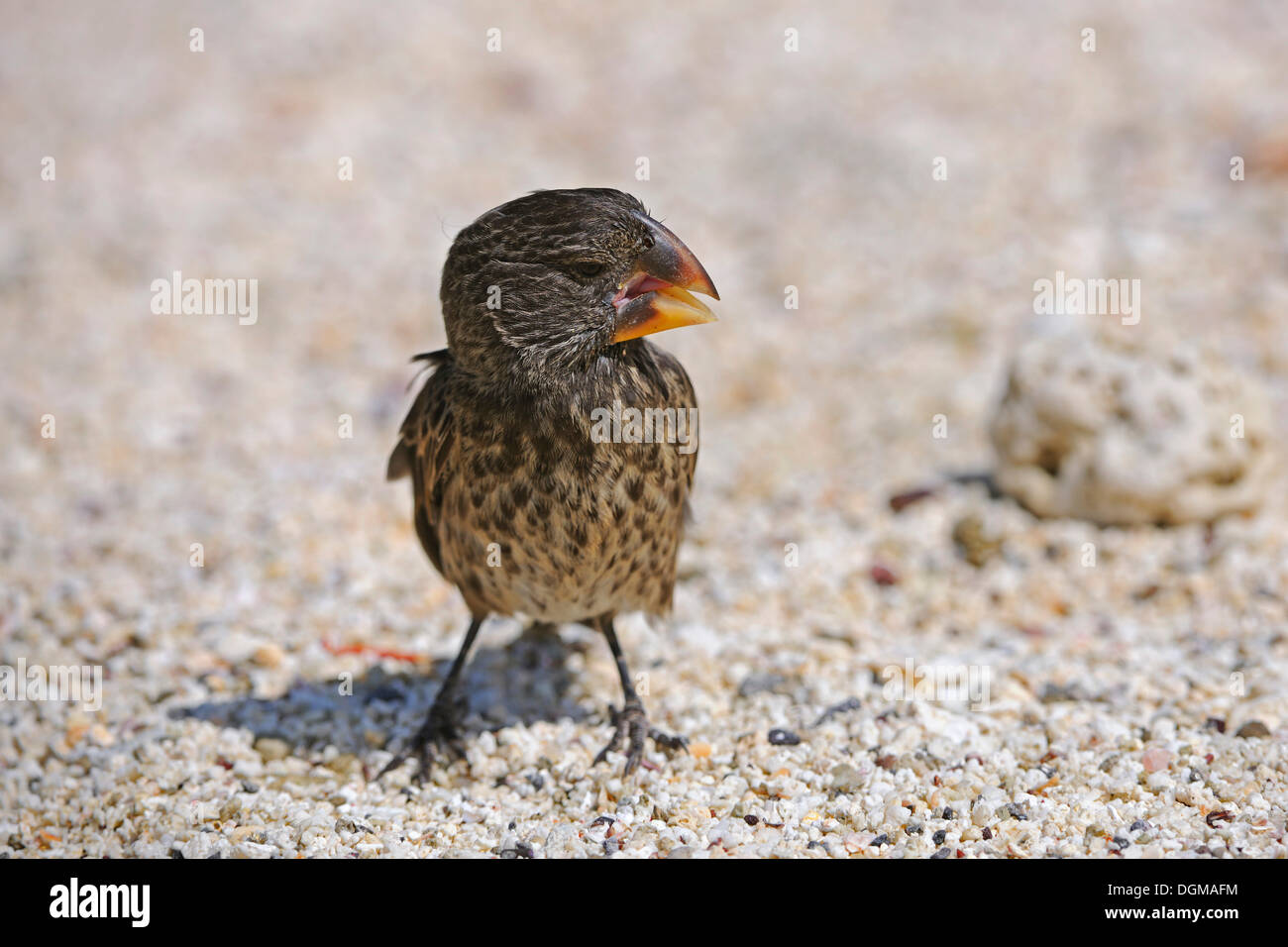 Medium Ground Finch (Geospiza fortis), Darwin finch, Genovesa Island, Galapagos Islands, UNESCO World Natural Heritage Site - Stock Image