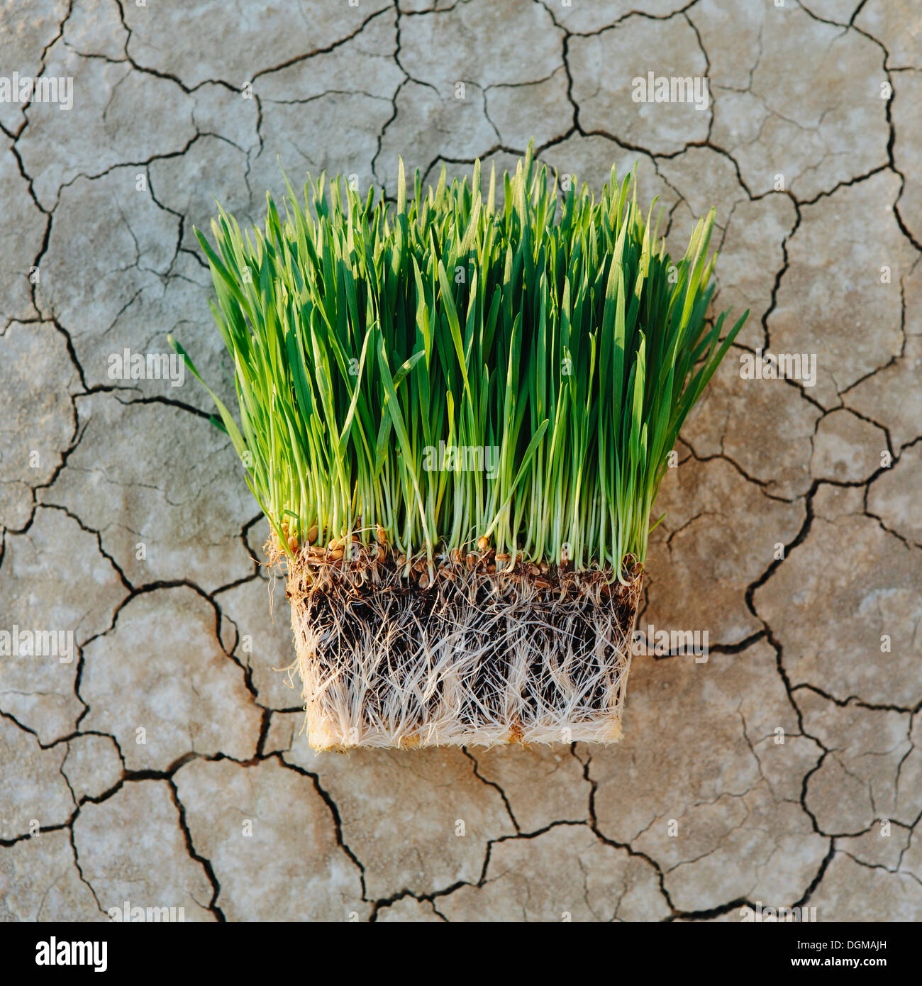 Black Rock Desert Arid cracked crusty surface salt flat playa Wheatgrass plants with a dense network of roots - Stock Image