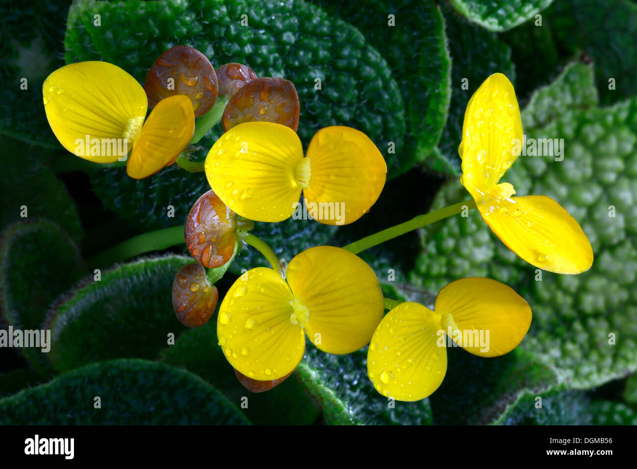 Species of Begonia (Begonia ficicola), blossoms, Nigeria, Africa - Stock Image